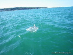 Sunfish swimming past a group stand up paddle boarding along the Pembrokeshire coast Wales
